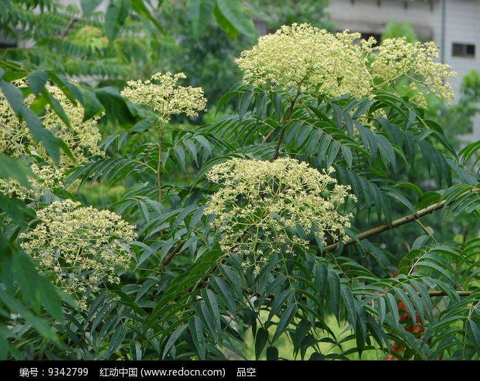 野生芸香科植物小花花椒图片