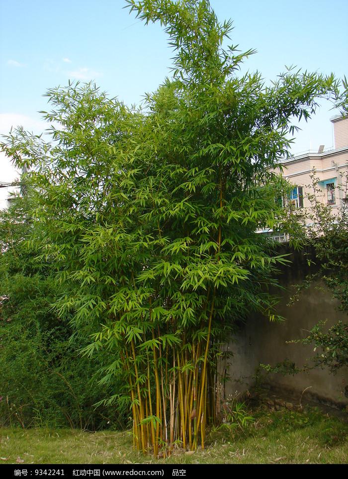 住宅小区种植的竹子图片