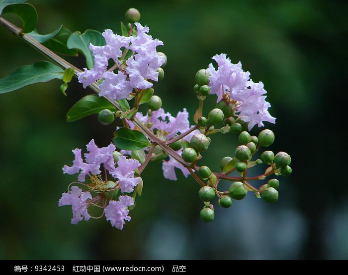 紫薇淡紫色花朵图片