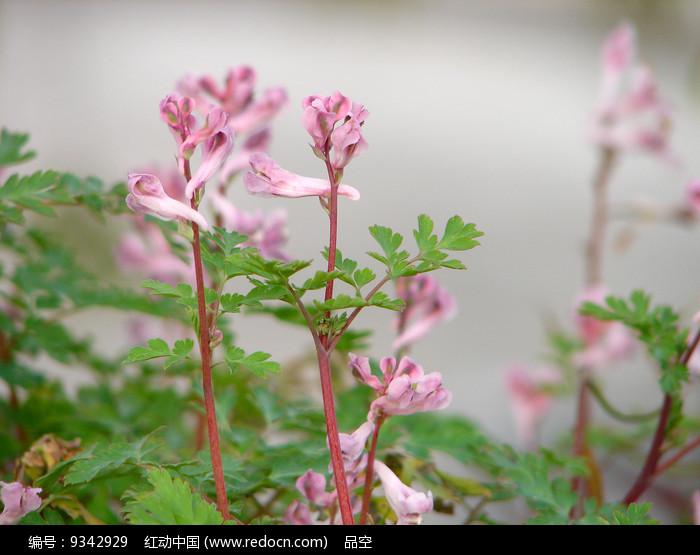 紫堇粉红色总状花序图片