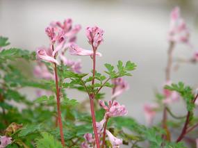 紫堇粉红色总状花序
