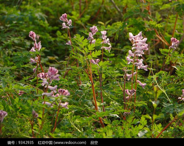 紫堇枝叶和总状花序图片