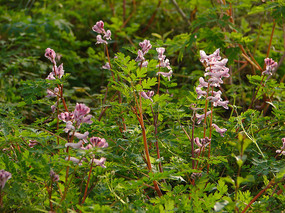 紫堇枝叶和总状花序