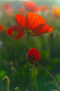 夕阳下虞美人花朵