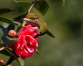 与花比美的纹背捕蛛鸟