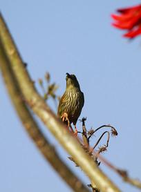 枝头上的纹背捕蛛鸟