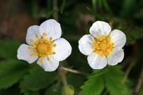 大兴安岭东方草莓的花朵