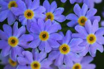 野生花卉粉报春