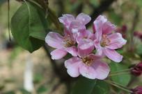 粉色的小花