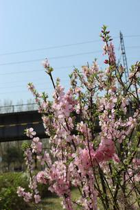 一串粉色的桃花