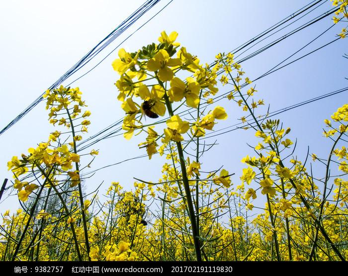 油菜花蜜蜂采蜜摄影图图片
