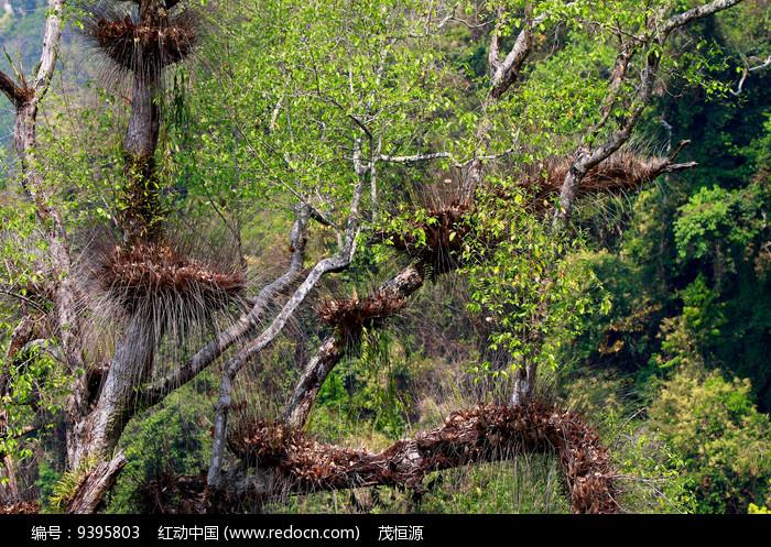 原始森林中的槲蕨