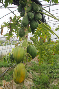 热带水果种植