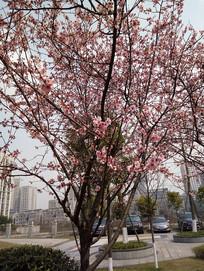春季观赏樱花树