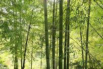 山里的毛竹