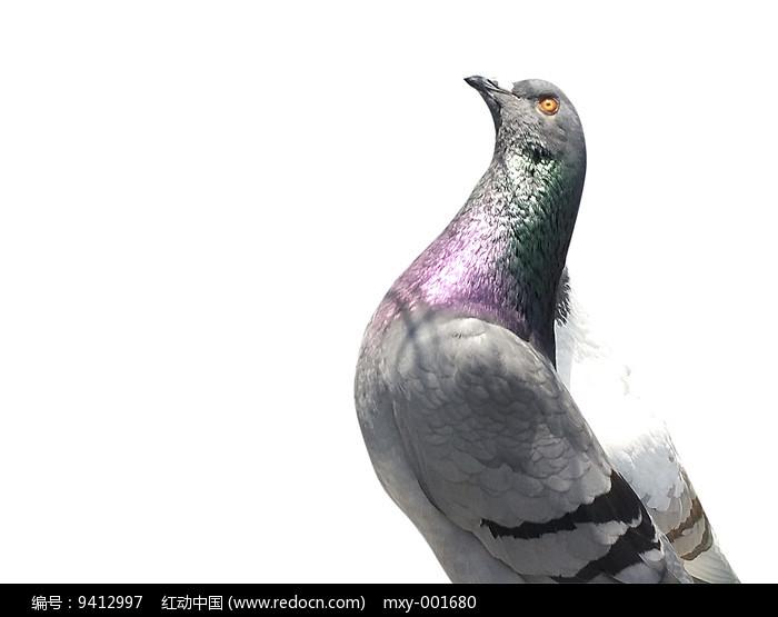 彩色鸽子图片