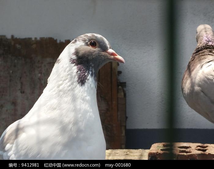 大鸽子图片