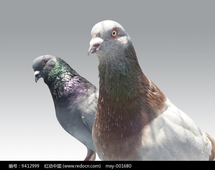 飞鸟鸽子图片