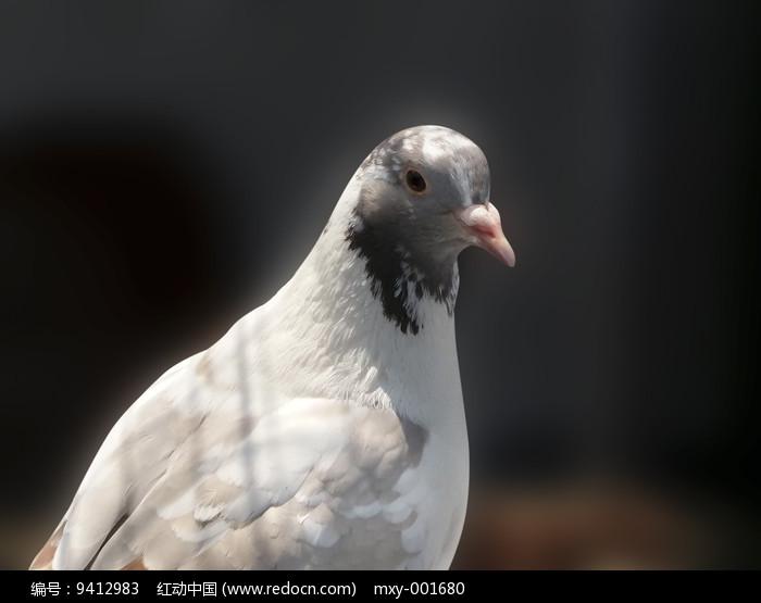 飞禽鸽子图片