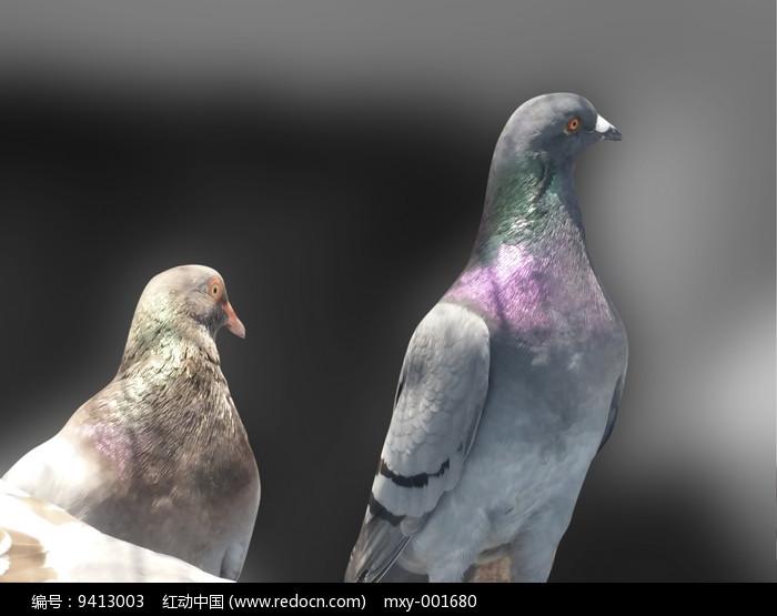 鸽子眼神图片