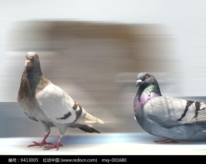 两只鸽子图片