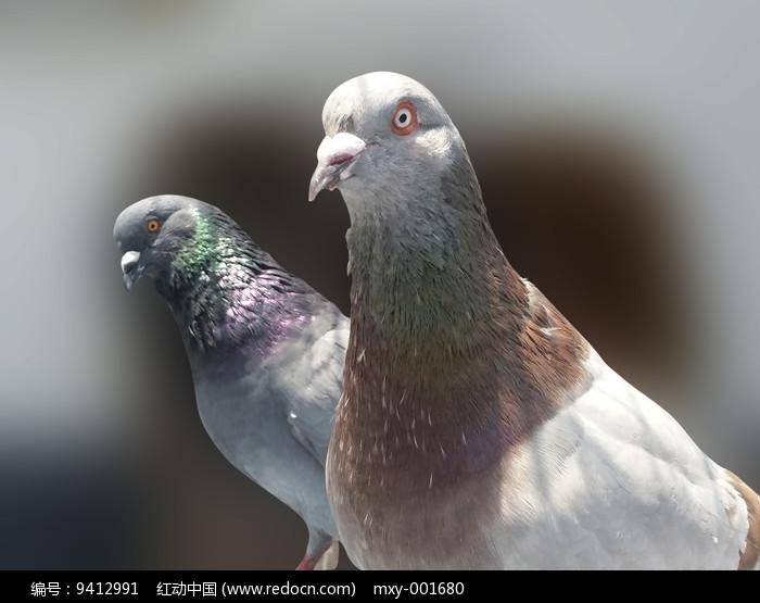 两只鸽子特写图片