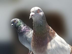 两只鸽子特写