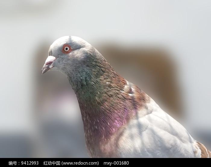 一只鸽子图片