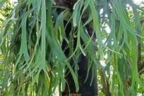 爪哇鹿角蕨