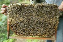 蜂巢上的蜜蜂