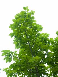 生长中的柿子树