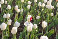 白色郁金香花丛红色花瓣