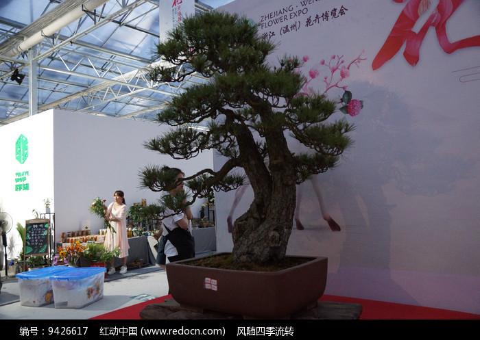 原创摄影图 动物植物 树木枝叶 龙柏盆景