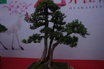 罗汉松盆景-清寂古树碧针遮