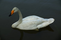 美丽的白天鹅