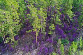 映山红盛开的森林
