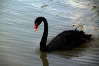 珍稀品种黑天鹅