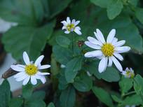 菊科食用两用植物马兰