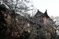 武汉大学樱花堡近摄