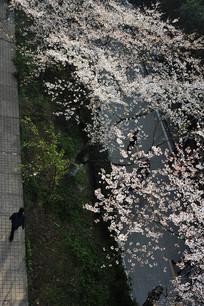 樱花步道俯瞰