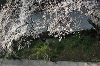 樱花步道横构图