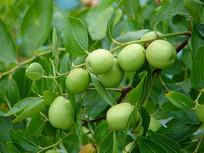 枣树的果实