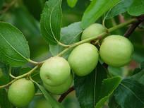 枣树结满果实