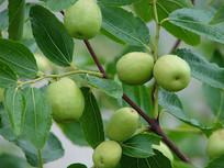 枣树上的枣子