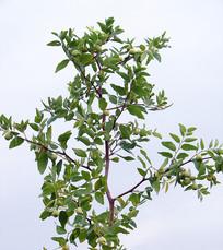 枝繁叶茂的枣树