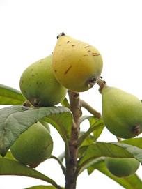 树枝上结满枇杷果实