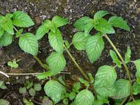 唇形科植物风轮菜