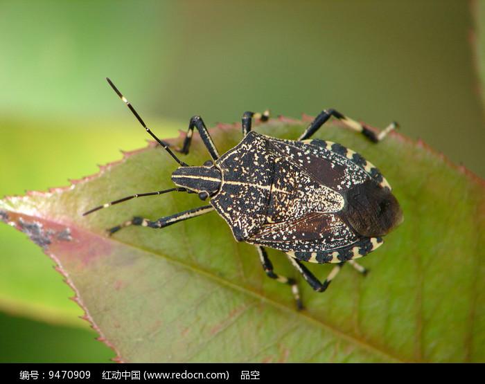 害虫麻皮蝽图片