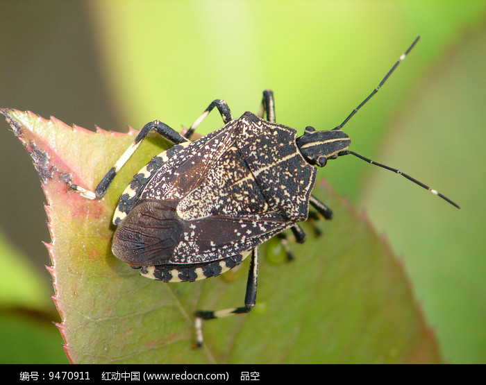 绿叶上的麻皮蝽图片