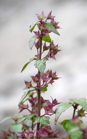 三花莸植株